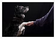 old lab shaking hands small